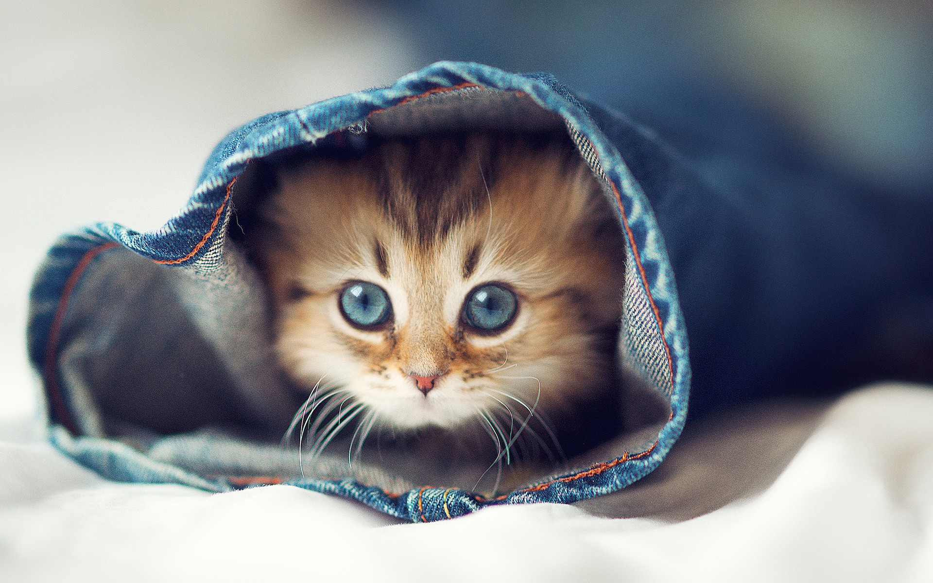 Cute-Cat-in-Blue-Jeans