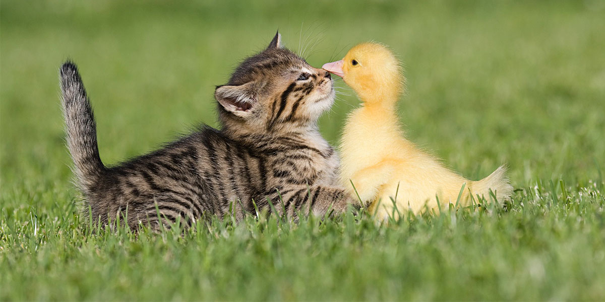 Duck-and-Cat-l