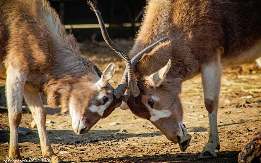 white-antelope